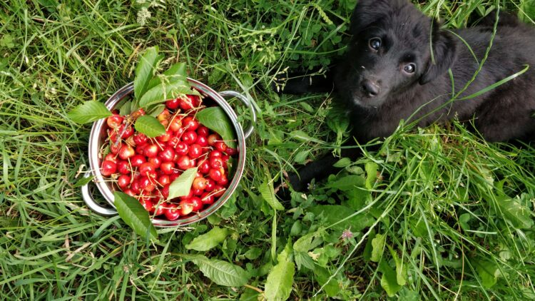 cute dog in garden with cherries