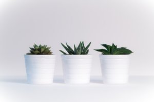 snake plant and cacti