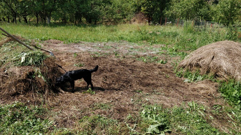 dog playing in mulched garden
