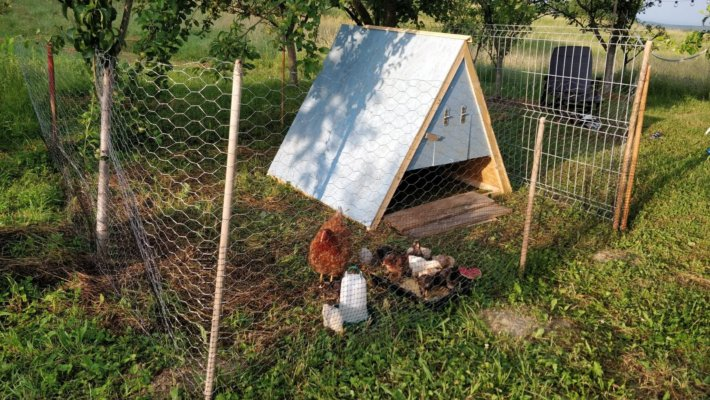 Chicken mother with baby chicks by the coop