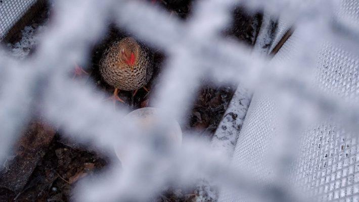 chicken in frozen coop
