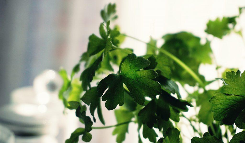 Potted cilantro plant