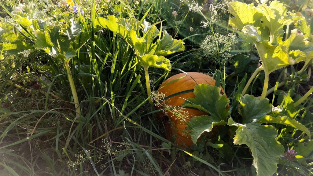 Pumpkin ready for harvest