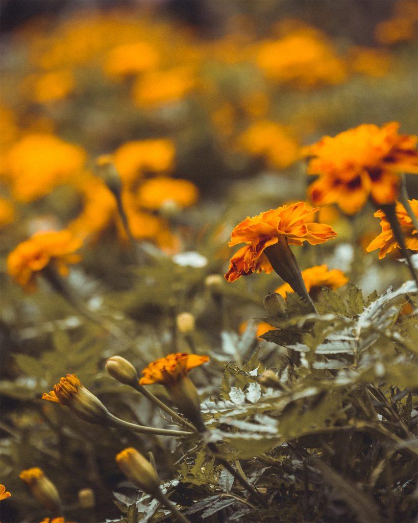 marigold bush flowers