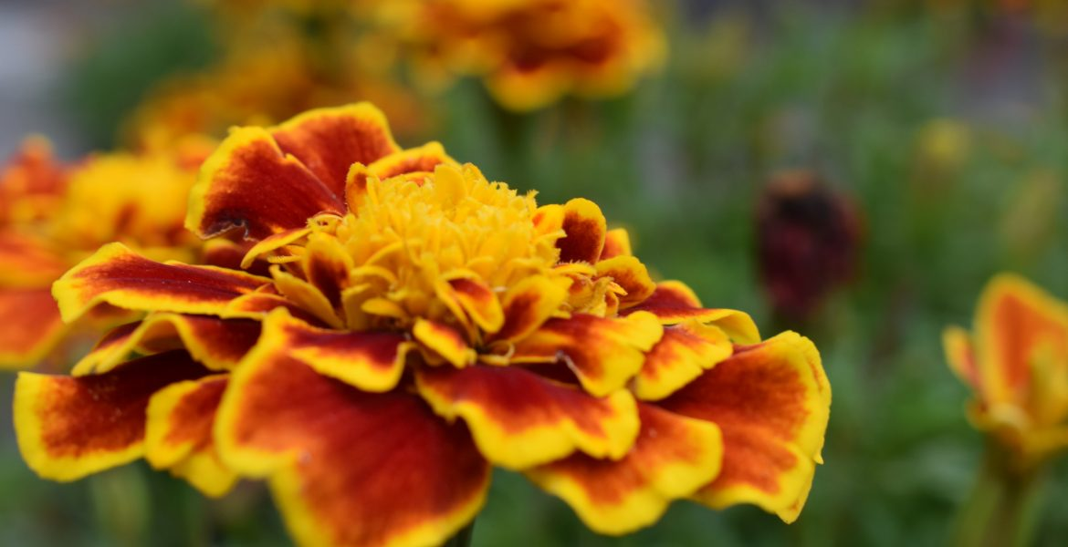 yellow orange marigold flower close-up