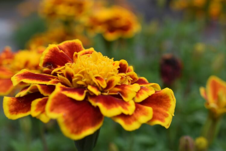 yellow orange marigold flower close-up