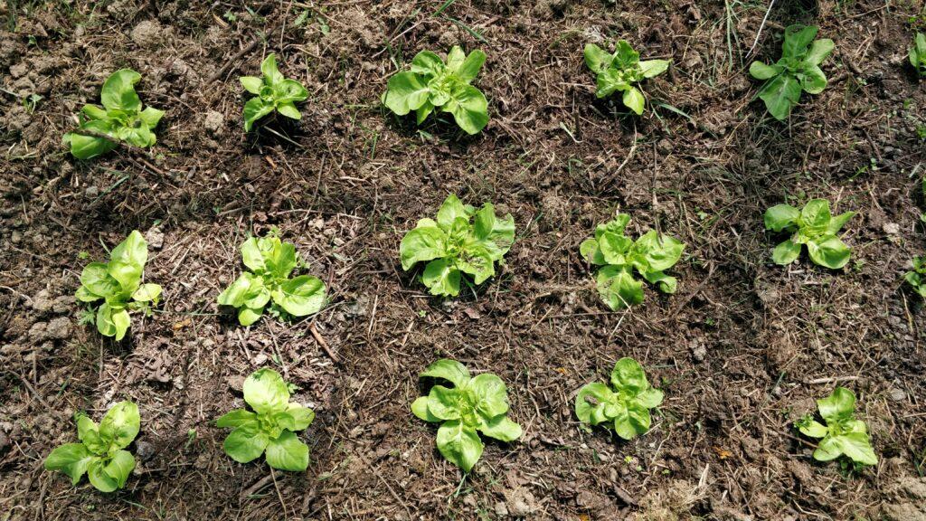 Lettuce heads plants in garden bed