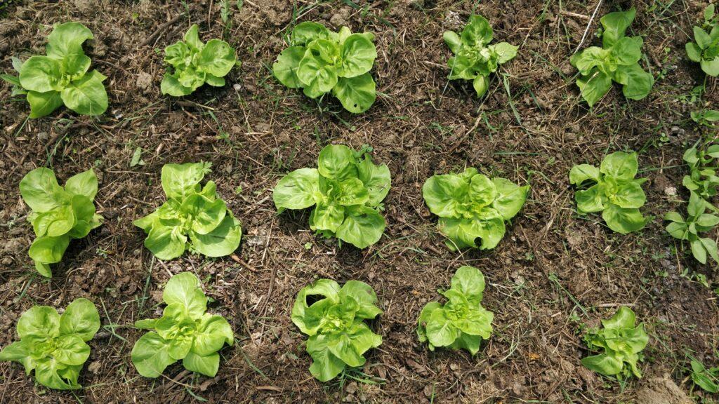 Baby lettuce plants