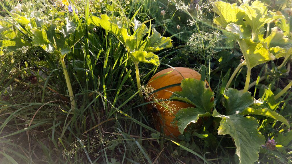 pumpkin plant at sunset