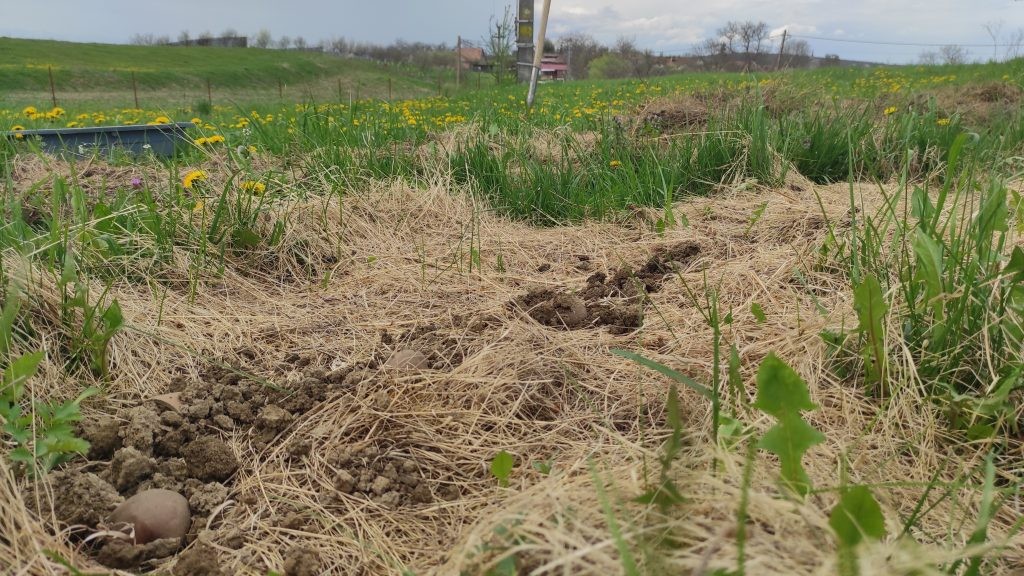 Planting Ruth Stout potatoes