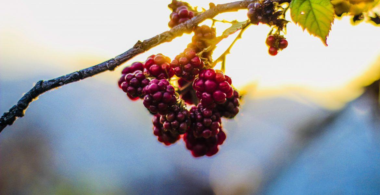 Berry bush plant