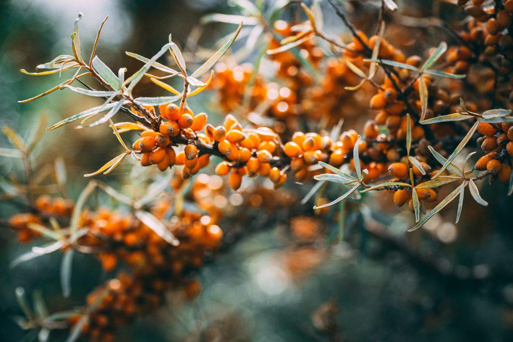 sea buckthorn bush